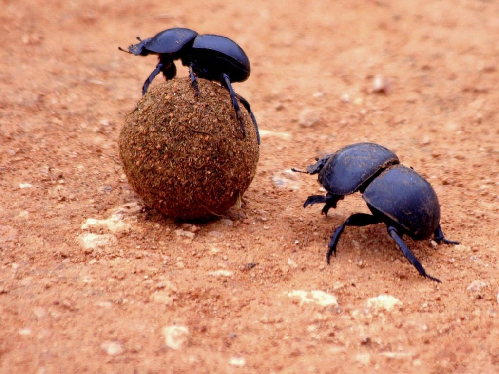 Two Dung Beetles.