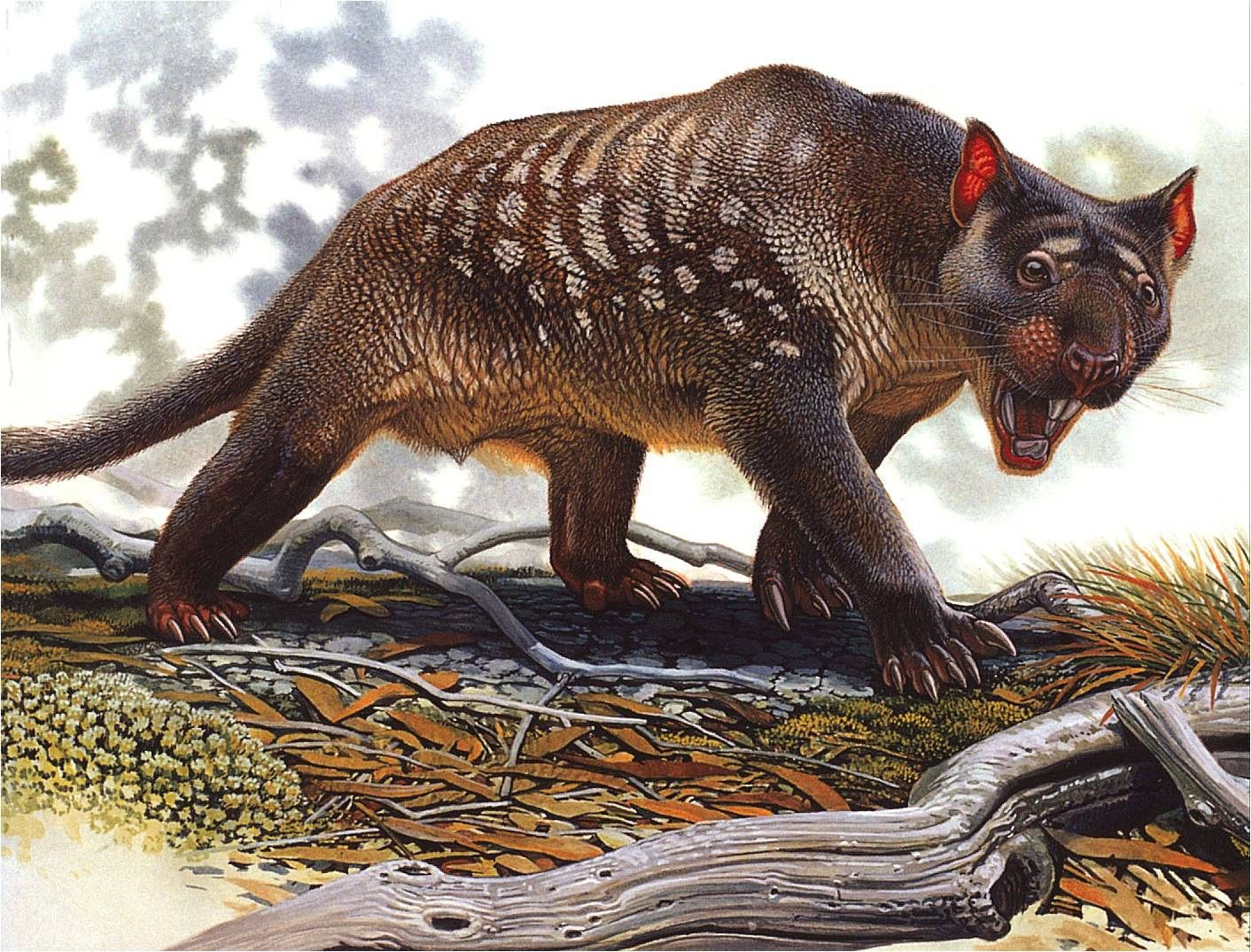 Thylacoleo carnifex was smaller than an African lioness, but with 80 per cent as powerful a bite as a large African lion. Picture: Peter Schouten